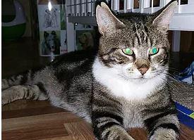 Adopté - TITUS, environ 8 ans. Je suis un chat des rues qui apprécie le confort d'une maison.