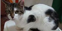 AUBER né le 01/07/16 en FA. Un amour de chat très proche des humains qui n'hésitera pas à venir vous accueillir et chercher des câlins Adoptable seul il n'apprécie pas ses congénères