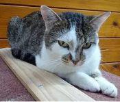 Adopté - MAXOU né le 01/07/16 Un amour de chat très proche de l'humain et très câlin. Un adorable petit pot de colle.