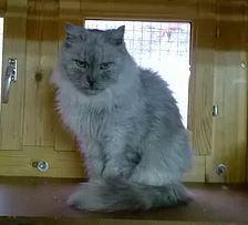 Adopté - STEVE né le 01/07/05 Un gros pépère tranquille sociable mais indépendant. Il acceptera une caresse de temps en temps mais il saura vous faire comprendre s'il n'en a pas envie. Adoptable seul et sans enfant.