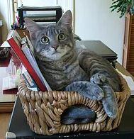 MAHKAH né le 15/05/16 en FA. Pour les amoureux des grands chats. Mahkah est très actif et a besoin de beaucoup de place pour se dépenser et jouer. Très proche de son humain à qui il viendra réclamer des câlins. Adoptable sans chien habitué à sortir il lui faut un jardin sécurisé loin des grands axes routiers.