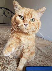 MALABAR, FIV+ né le 01/01/10 en FA. Un amour de chat très doux câlin et très affectueux qui s'entend très bien avec ses congénères car il n'a aucune agressivité Adoptable sans chien.